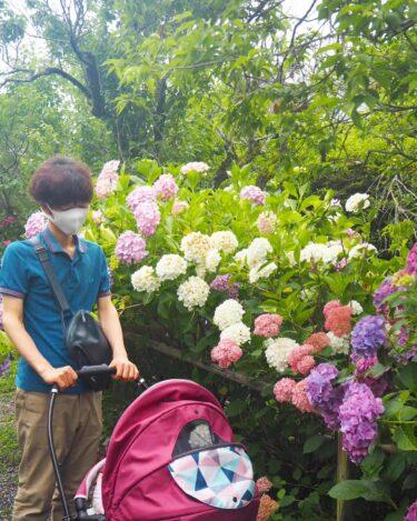 シャッターを押す手が止まらない。只今、紫陽花が満開です!@梅宮大社